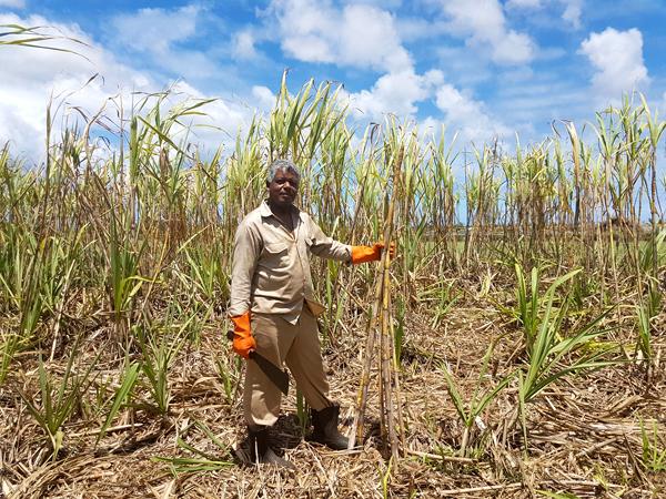 sugarcane of Mauritius - L'Aventure du Sucre