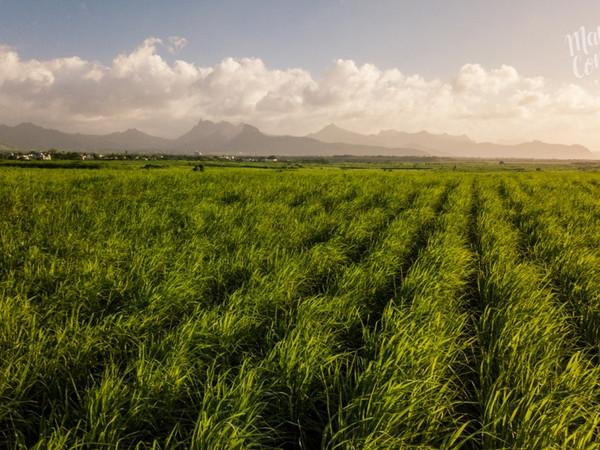 Sugarcane fields forever...