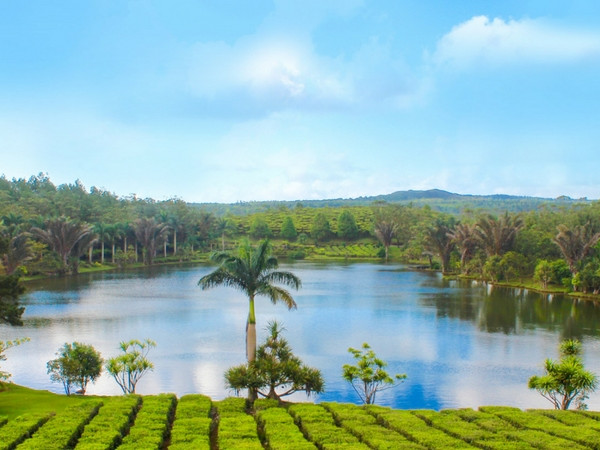 Tea plantations in Bois Cheri