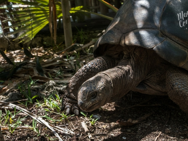 Giant tortoises in Chamarel