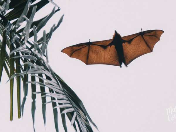 Mauritian Flying Foxes seen from Lion Mointain