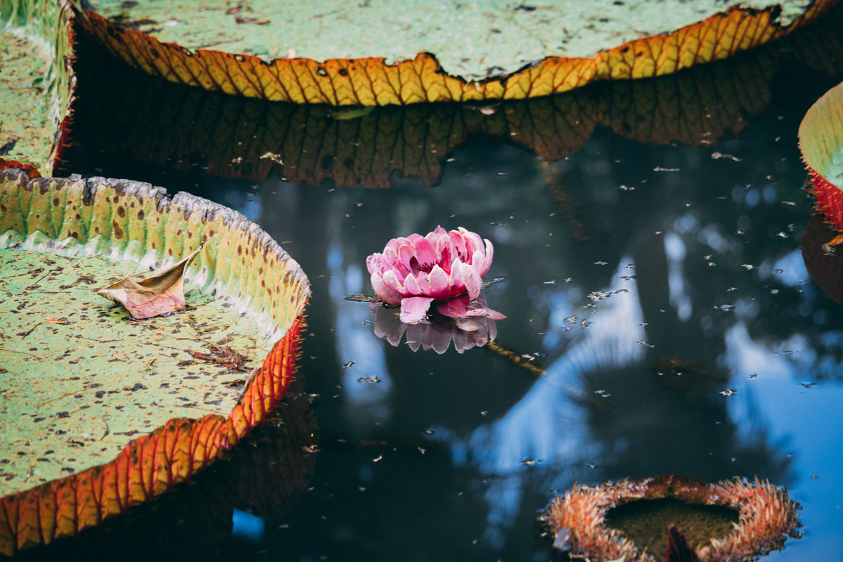 dtg-cr11853-mauritius-pond-lily-flora-nature